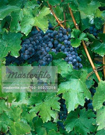 Gros plan des raisins sur la vigne (Ontario), Canada