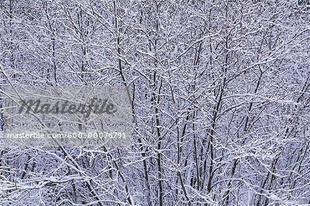 Snow Covered Trees, Algonquin Provincial Park, Ontario, Canada