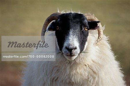 Portrait of Sheep, Scotland
