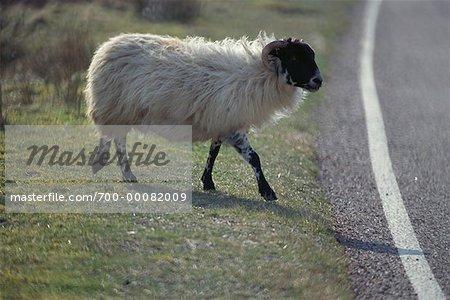 Sheep near Road, Scotland