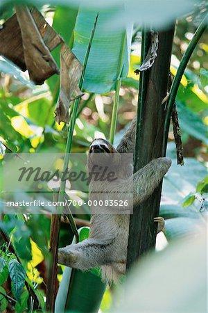 Three Toed Sloth in Tree Manuel Antonio Park Costa Rica