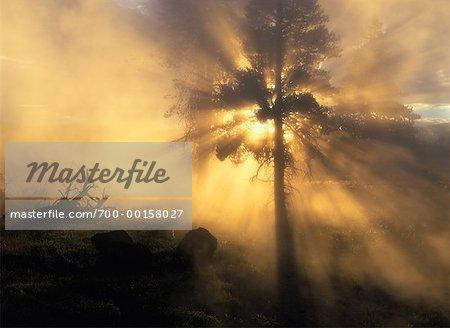 Arbres dans la brume au lever du soleil du Parc National Yellowstone au Wyoming, États-Unis d'Amérique