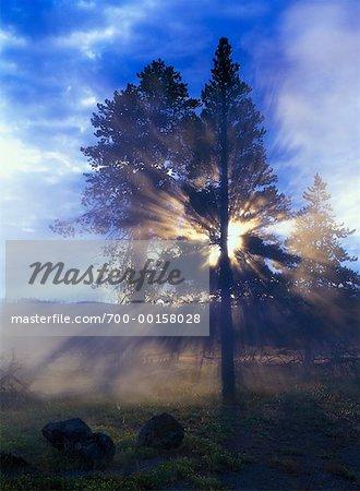 Arbres et Morning Mist Parc National de Yellowstone, Wyoming, États-Unis