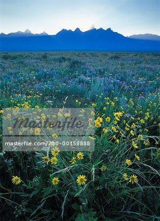 Fleurs sauvages du Parc National Grand Teton, Wyoming, États-Unis