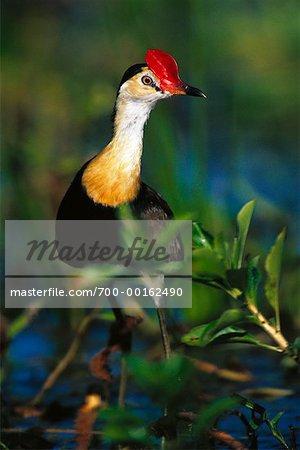 Comb-Crested Jacana Kakadu National Park, Australia
