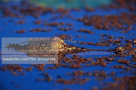 Crocodile Kakadu National Park, Australia