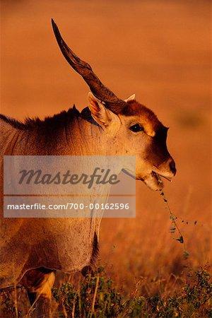 Éland Masai Mara, Afrique