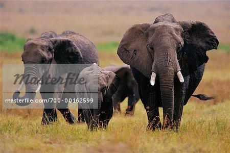 Famille d'éléphants marchant dans l'herbe