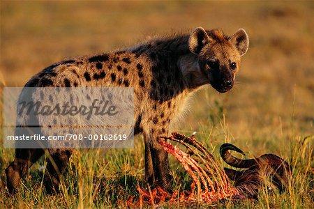 Hyène avec Animal mort