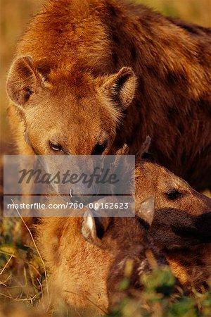 Femelle hyène alimentation Cubs