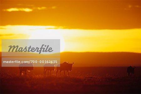 Gnou à Dawn Masai Mara, Kenya