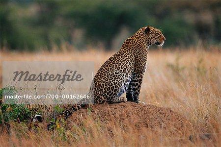 Leopard Sitting on Mound