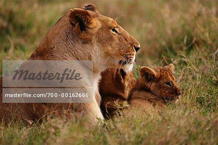 Lionne en compagnie d'oursons