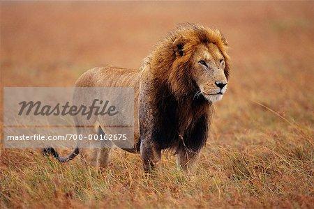 Lion debout dans l'herbe