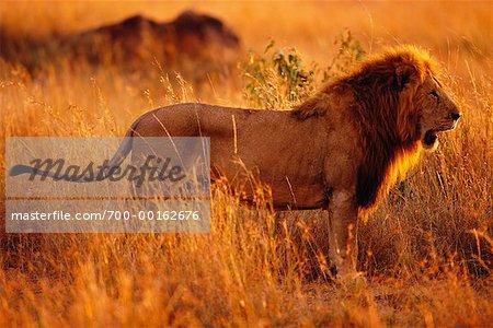 Lion debout dans l'herbe, le marquage de parfum