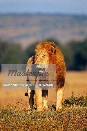 Lion debout dans le champ