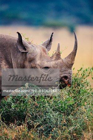 Noir rhinocéros Masai Mara, Kenya, Afrique