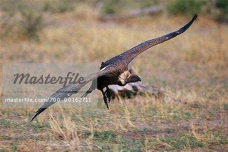 White-Backed Vulture Savuti, Botswana, Africa