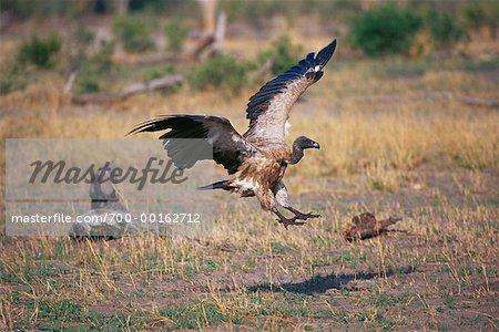 Dos blanc vautour Savuti, Botswana, Afrique