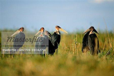 Marabou Storks in Grassland