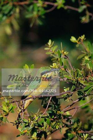 Little Bee-Eater Duma Tau, Botswana, Africa
