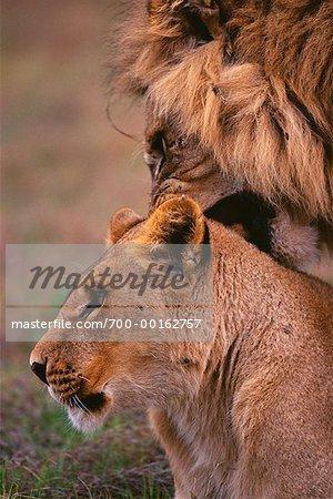 Accouplement plaines Duba Lions, Botswana, Afrique