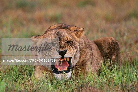 Lionne Duba Plains, Botswana, Afrique