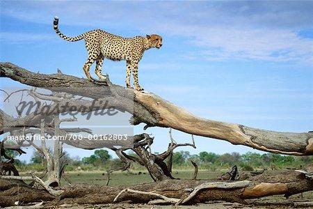 Cheetah on Dead Tree