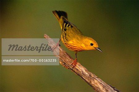Paruline jaune Rio Grande Valley, Texas, USA