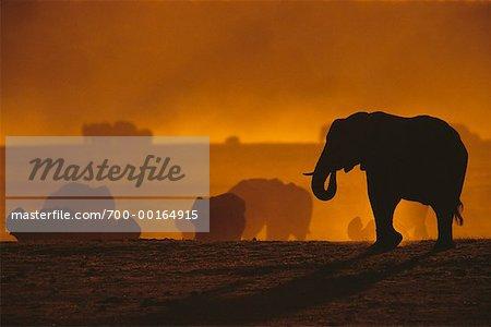 Silhouette d'éléphants