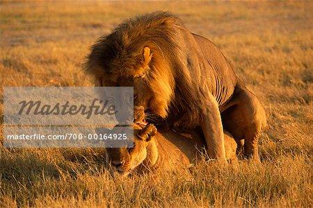 Lions d'accouplement