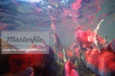 Underwater View of Salmon Run British Columbia, Canada