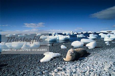 Phoque de Weddell sur plage Brown Bluff, péninsule Antarctique