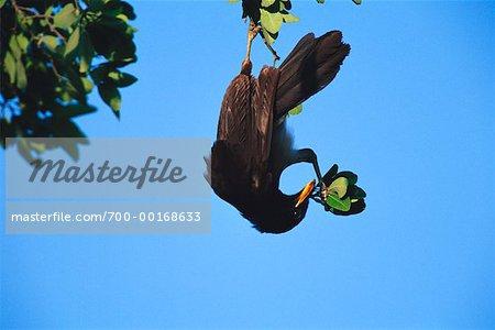Jay brun collecte de matériel de nidification