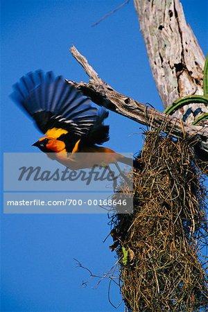 Altamira Oriole Leaving Nest