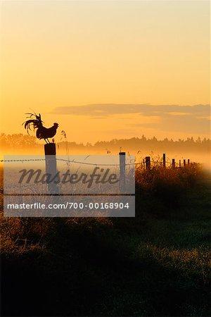 Coq perché sur une clôture au lever du soleil