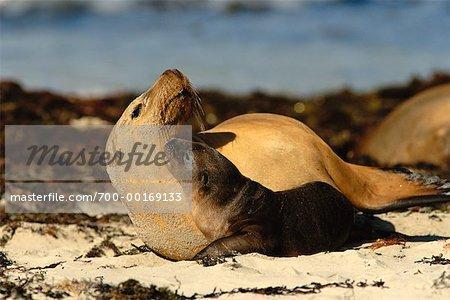 Mère et Lion de mer de chiot