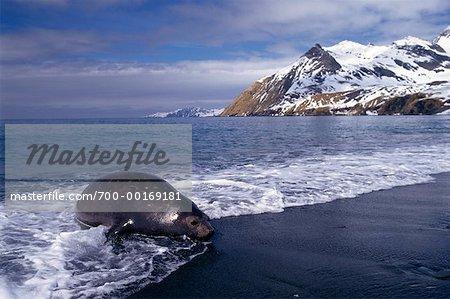 Elephant Seal Gold Harbour, South Georgia Island, Antarctica