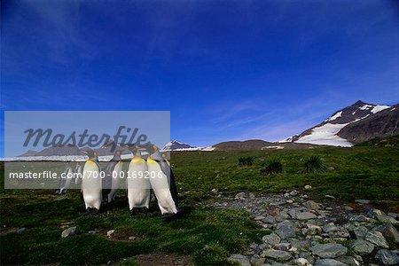 King Penguin île de la Géorgie du Sud, Antarctique