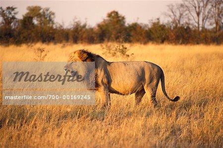 Lion grondants