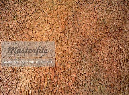 Gros plan d'arbre écorce Hornby Island, en Colombie-Britannique