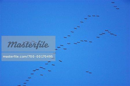 Sandhill Cranes, Alaska