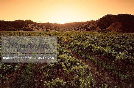 Vignoble, nord de la Californie, USA