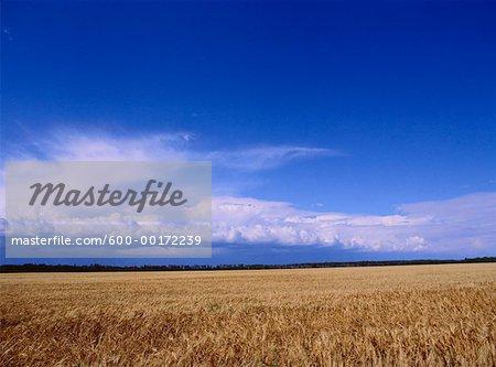 Wheat Field, Manitoba, Canada