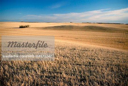 Harvested wheat field, Saskatchewan, Canada