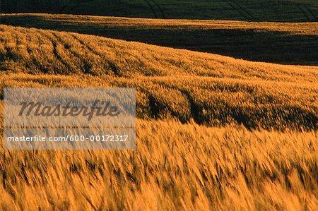 Barley Field at Sunset, Alberta, Canada