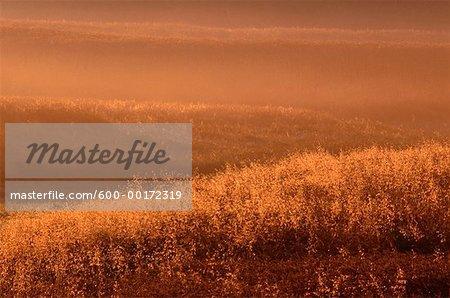 Grain Field at Dawn, Alberta, Canada