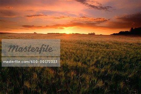 Barley Field at Sunset, Strathcona Country, Alberta, Canada