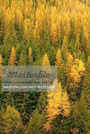Forêt mixte, les monts Selkirk, West Kootenay, en Colombie-Britannique, Canada