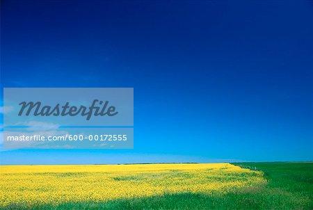 Canola Field, Alberta, Canada